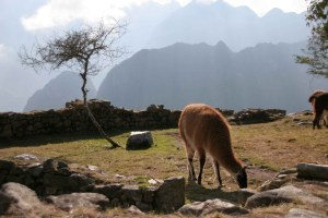 sm-08-1485-llama-w-morning-peaks-behind