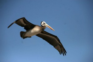 sm-08-4205-flying-pelican-arica